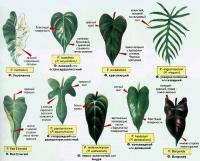 Филодендроны разновидности