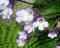 Haberlea rhodopensis - Хаберлея родопская