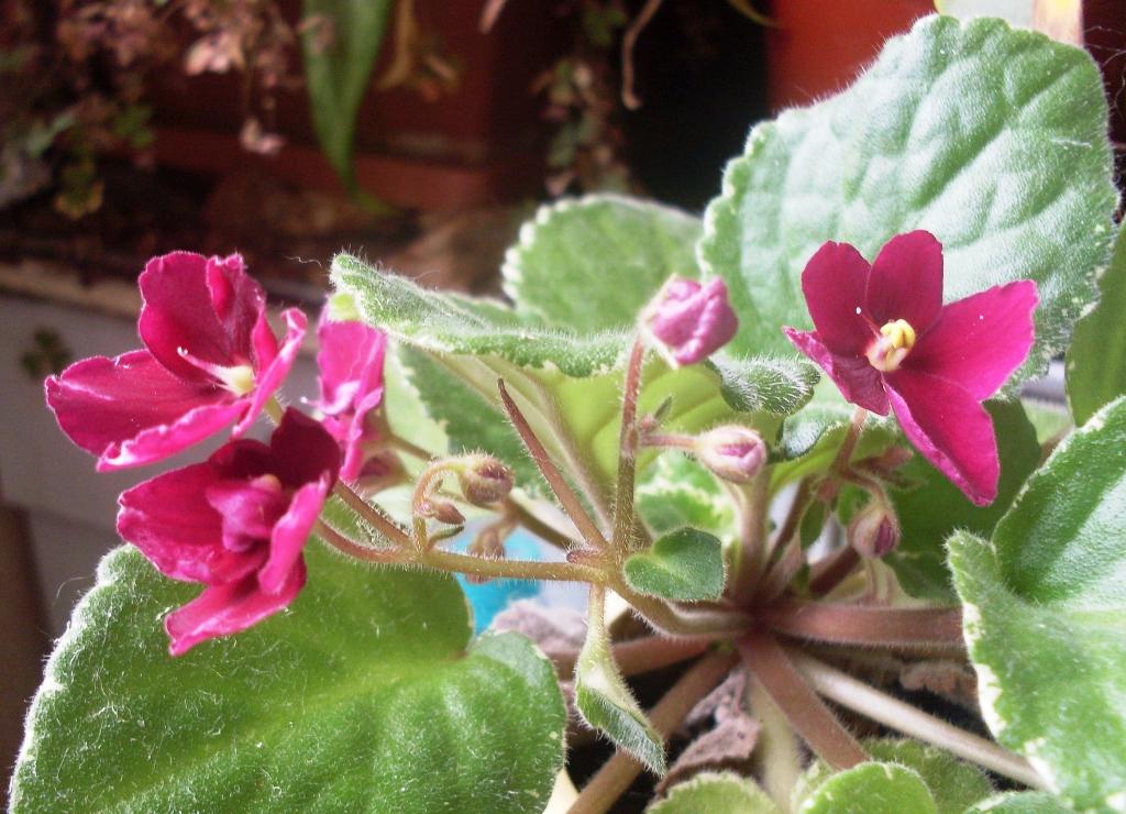 Pow wow узамбарская фиалка цветение