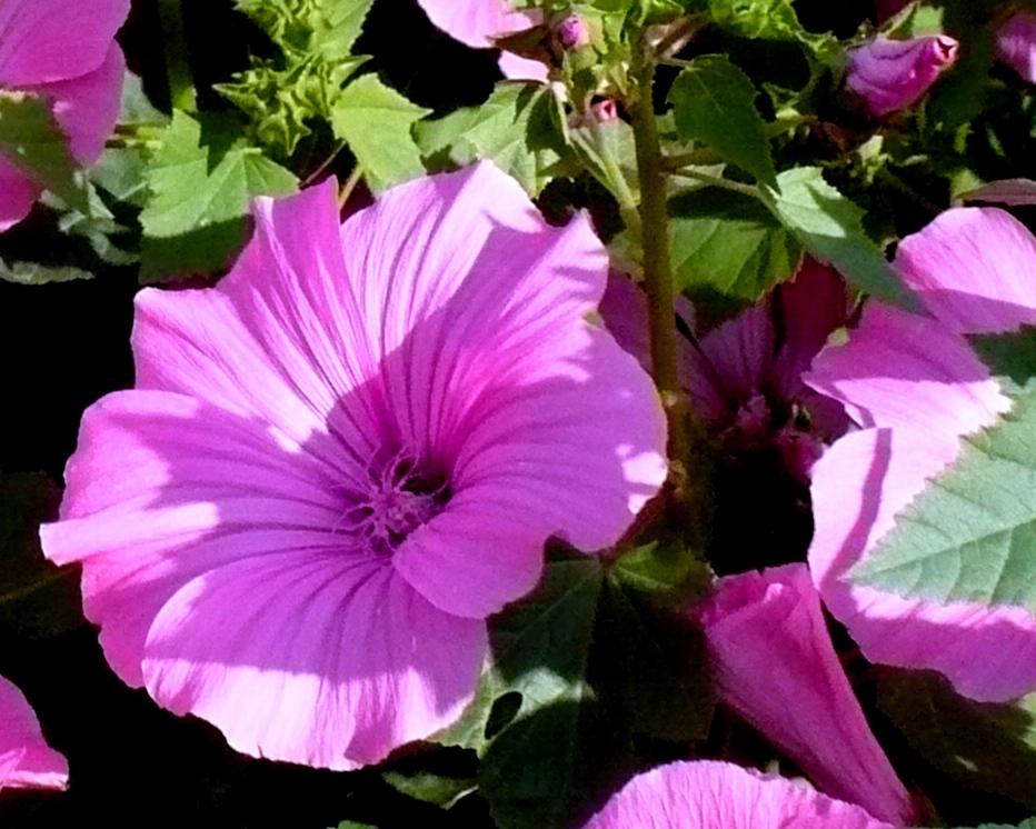 Лаватера цветок и описание 136