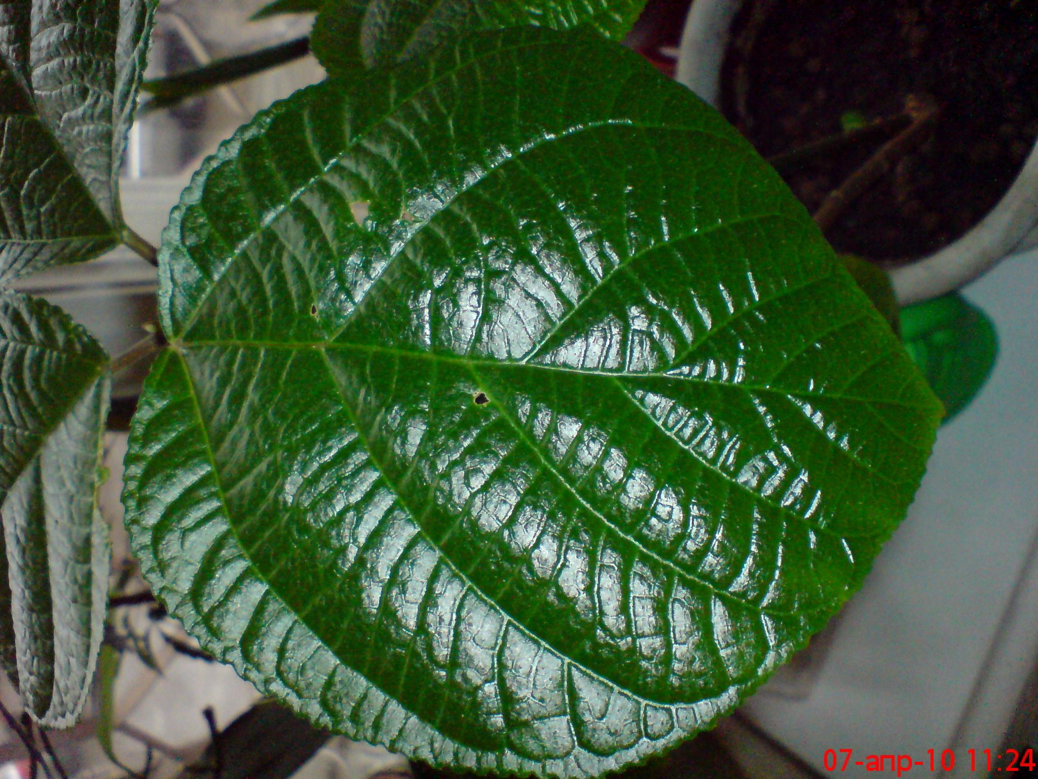 Комнатный цветок гиппеаструм, размножение и уход в домашних