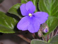 Фиалкоцветковая