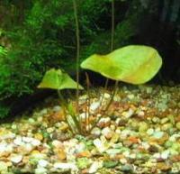 Молодые растения нимфеи